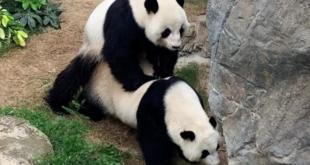 Panda-Hong-Kong